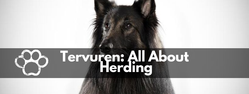 TERVUREN: ALL ABOUT HERDING