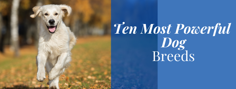 10 MOST POWERFUL DOG BREEDS
