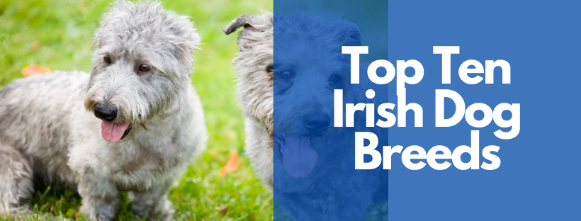 Top Ten Irish Dog Breeds