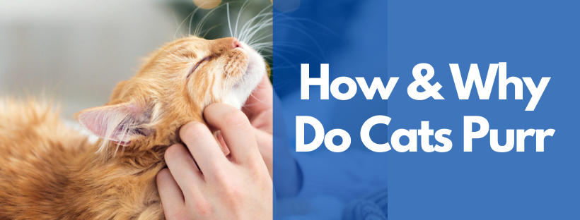 How & Why Do Cats Purr