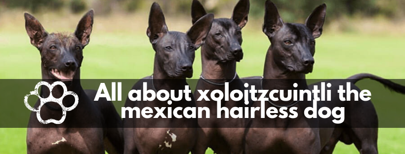 All about xoloitzcuintli the mexican hairless dog