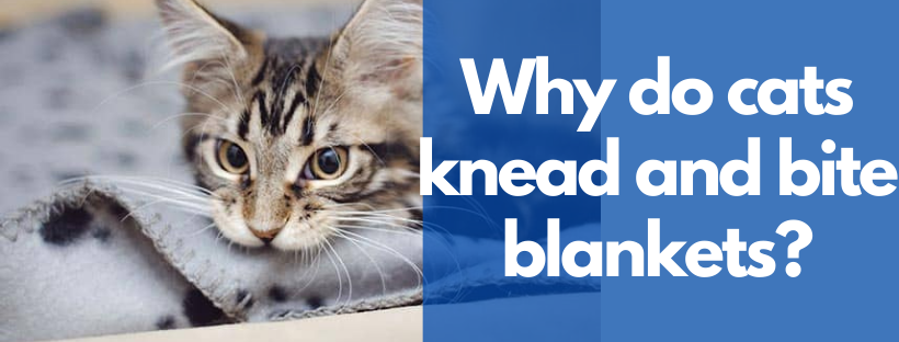 Why do cats knead and bite blankets?
